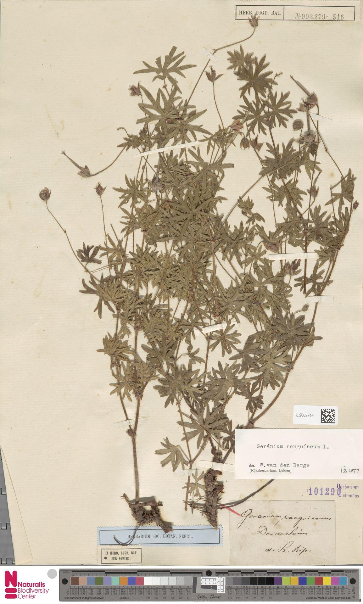 L.2003746 | Geranium sanguineum L.