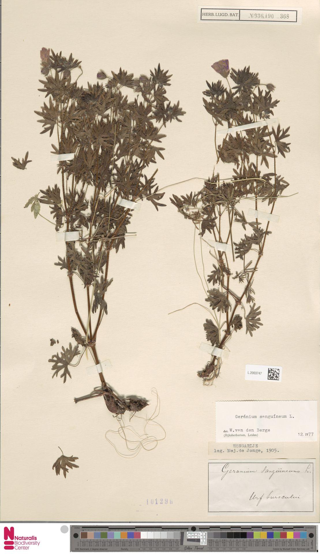 L.2003747   Geranium sanguineum L.