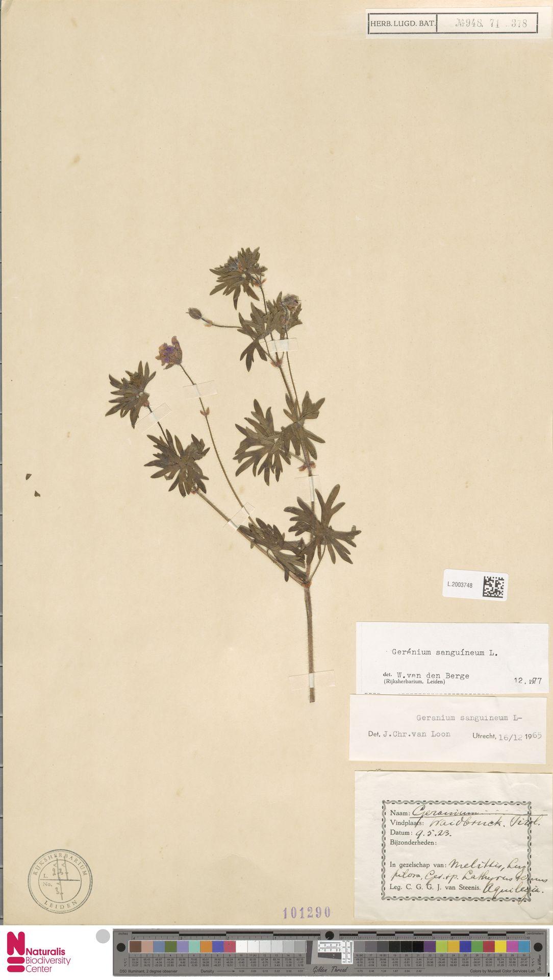 L.2003748 | Geranium sanguineum L.