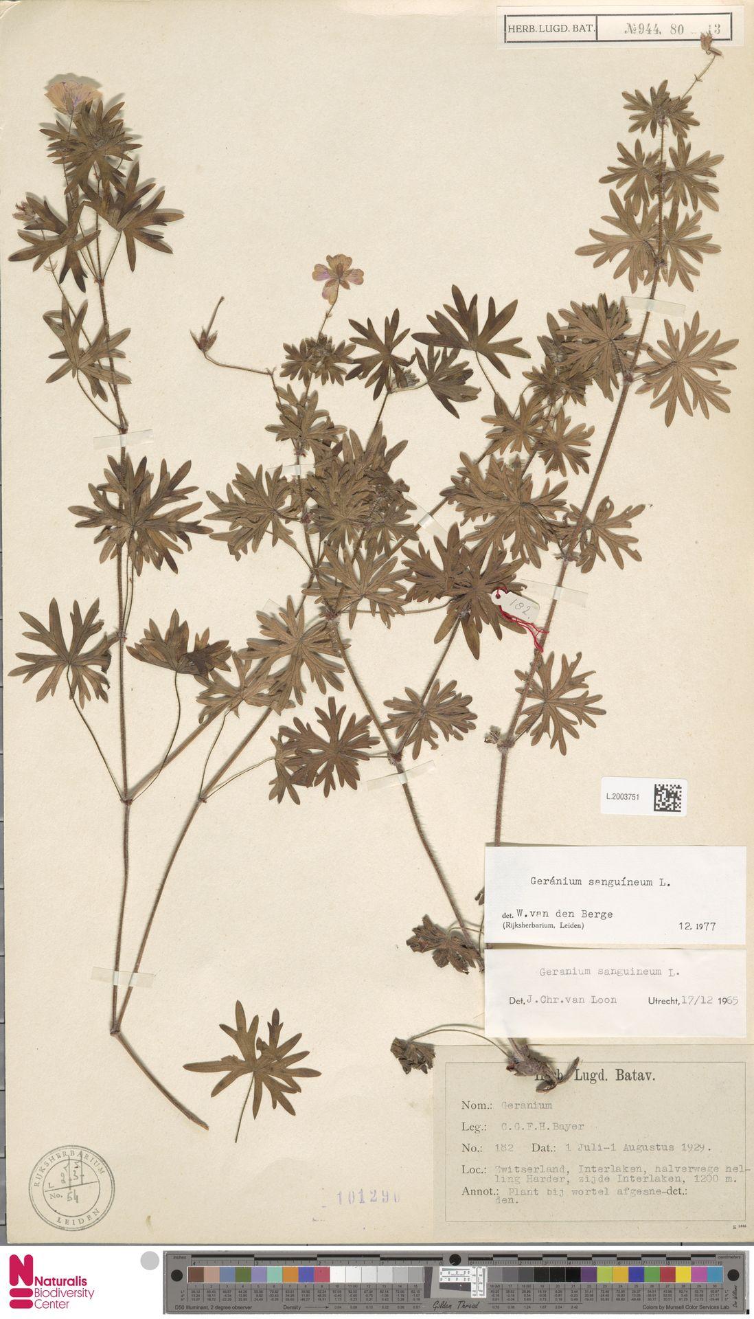 L.2003751 | Geranium sanguineum L.