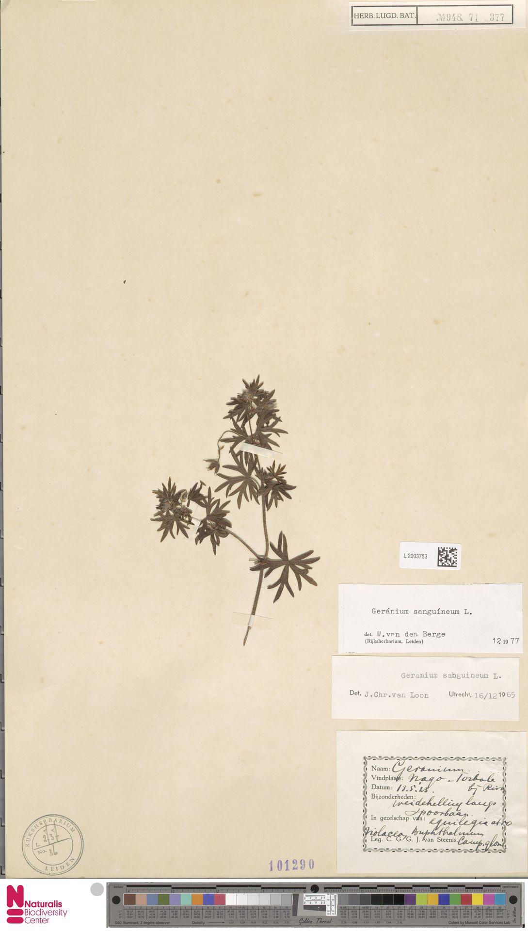 L.2003753   Geranium sanguineum L.