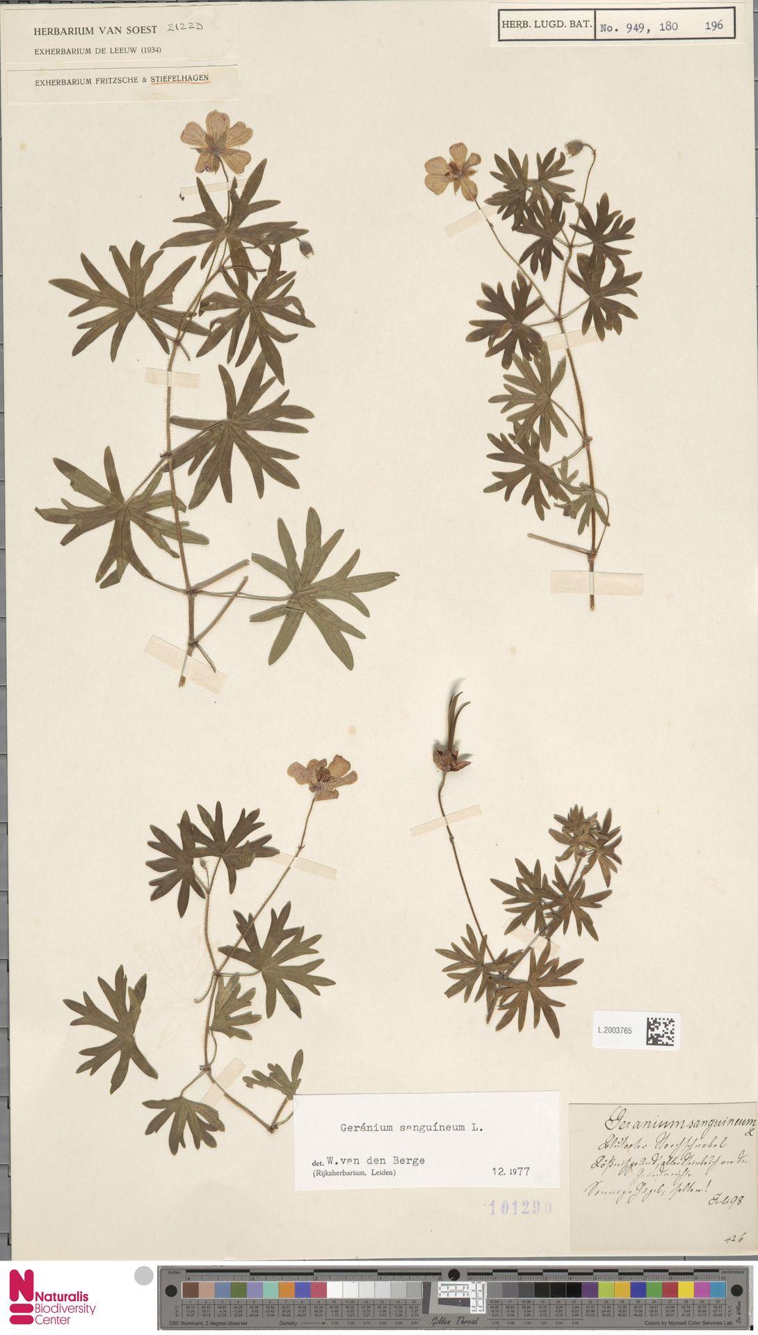 L.2003765 | Geranium sanguineum L.