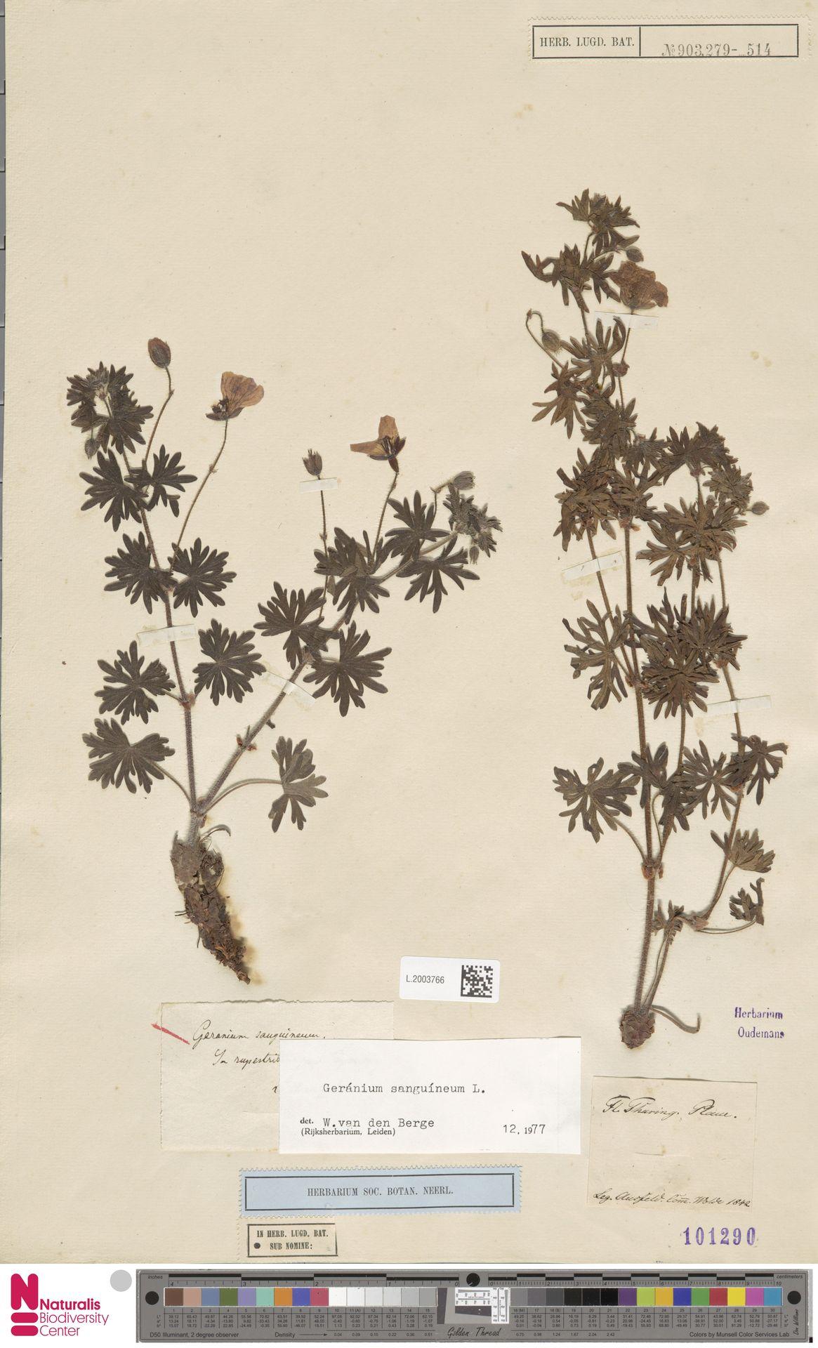 L.2003766 | Geranium sanguineum L.