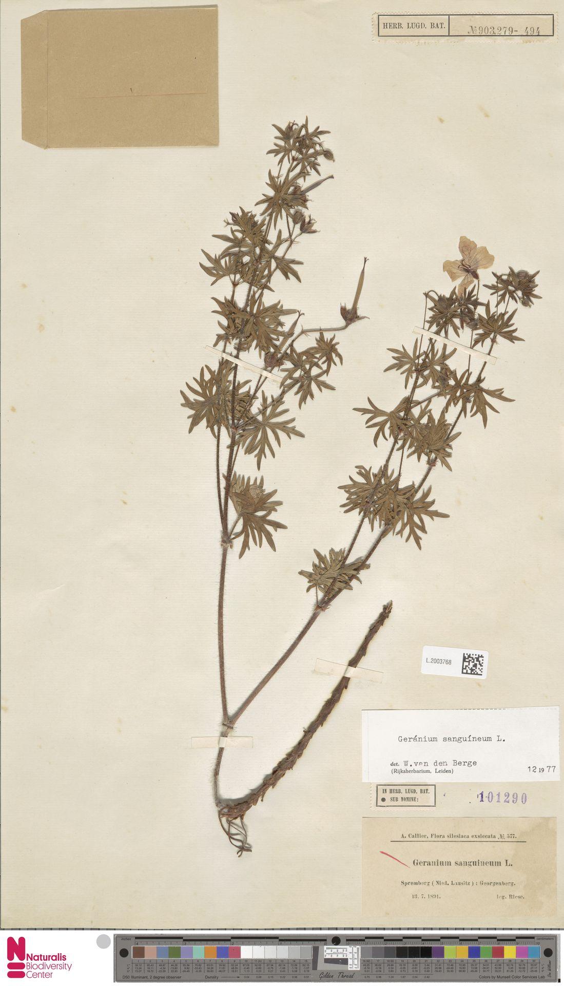 L.2003768 | Geranium sanguineum L.