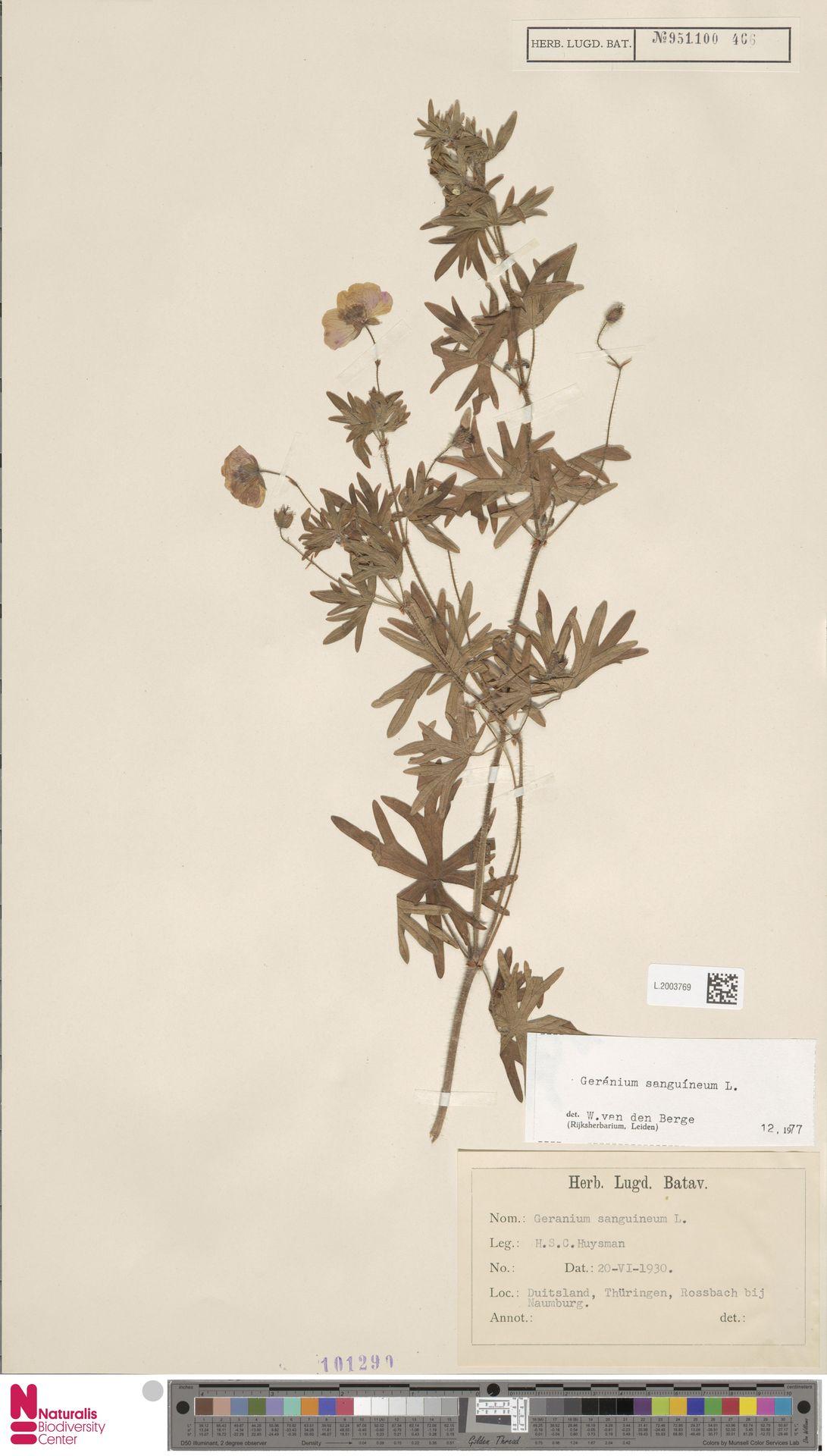L.2003769   Geranium sanguineum L.