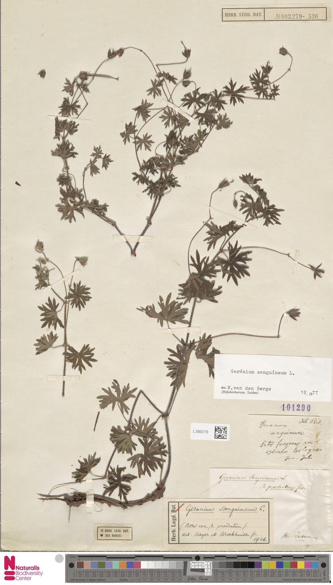 L.2003770 | Geranium sanguineum L.