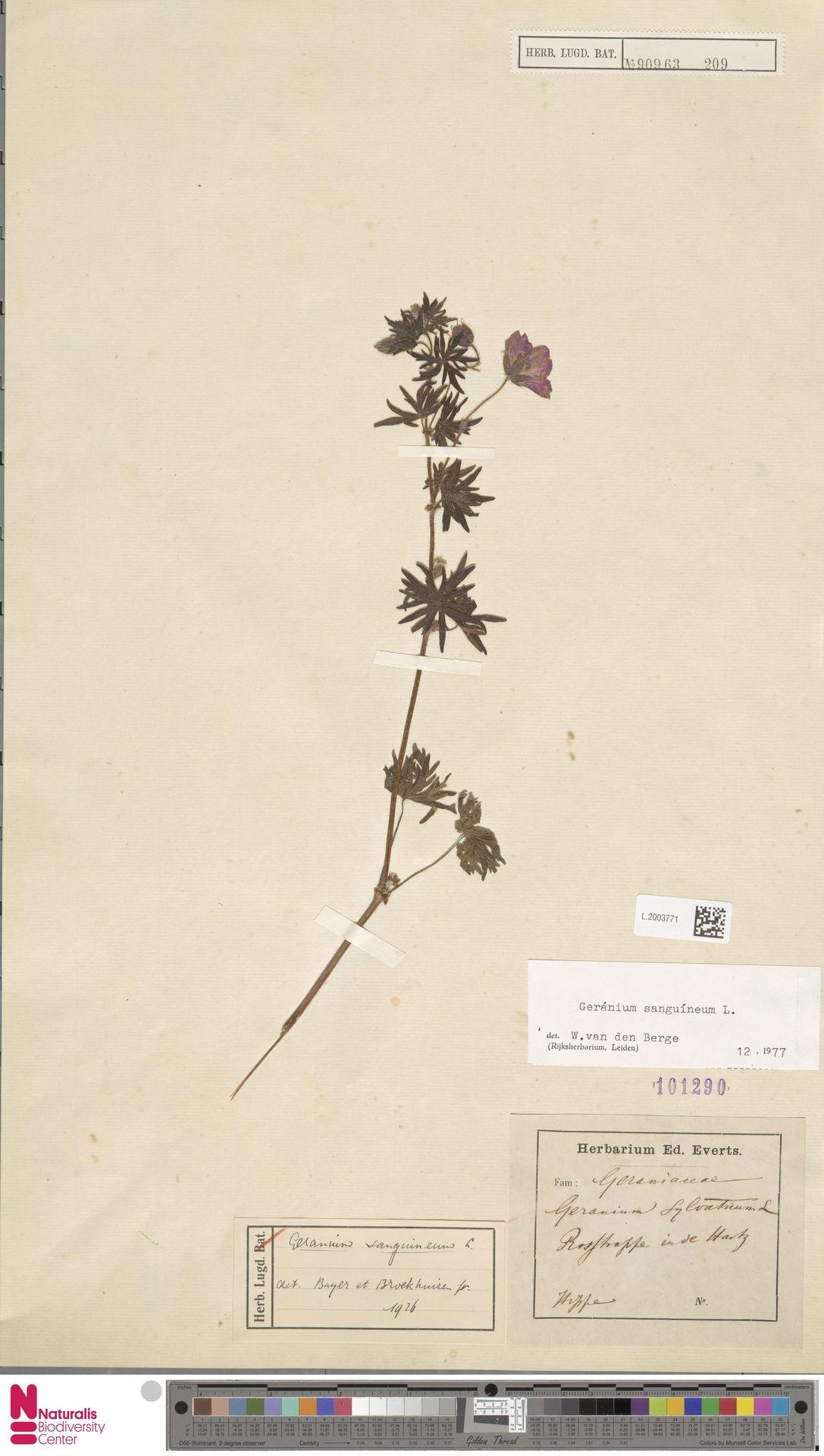 L.2003771 | Geranium sanguineum L.