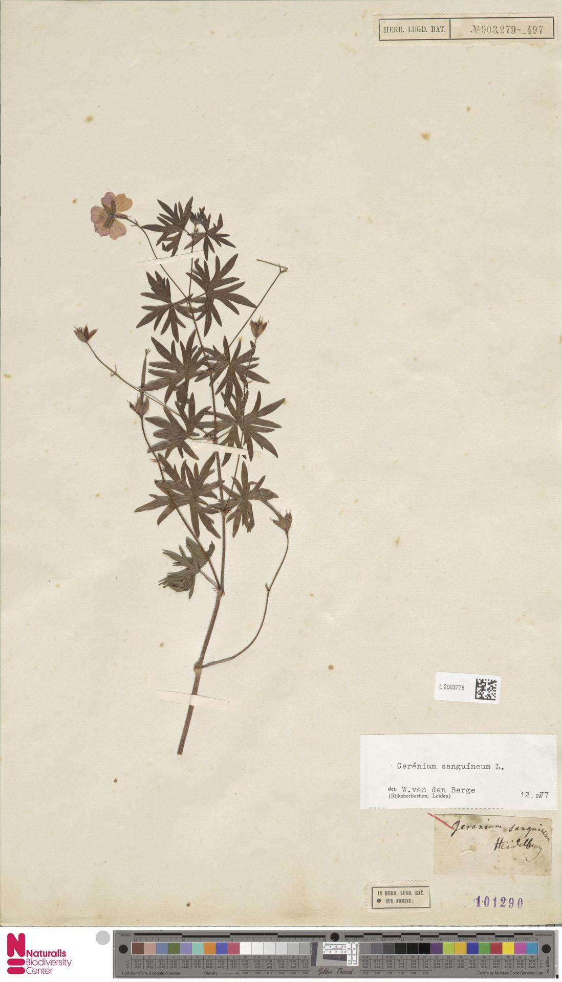 L.2003778 | Geranium sanguineum L.