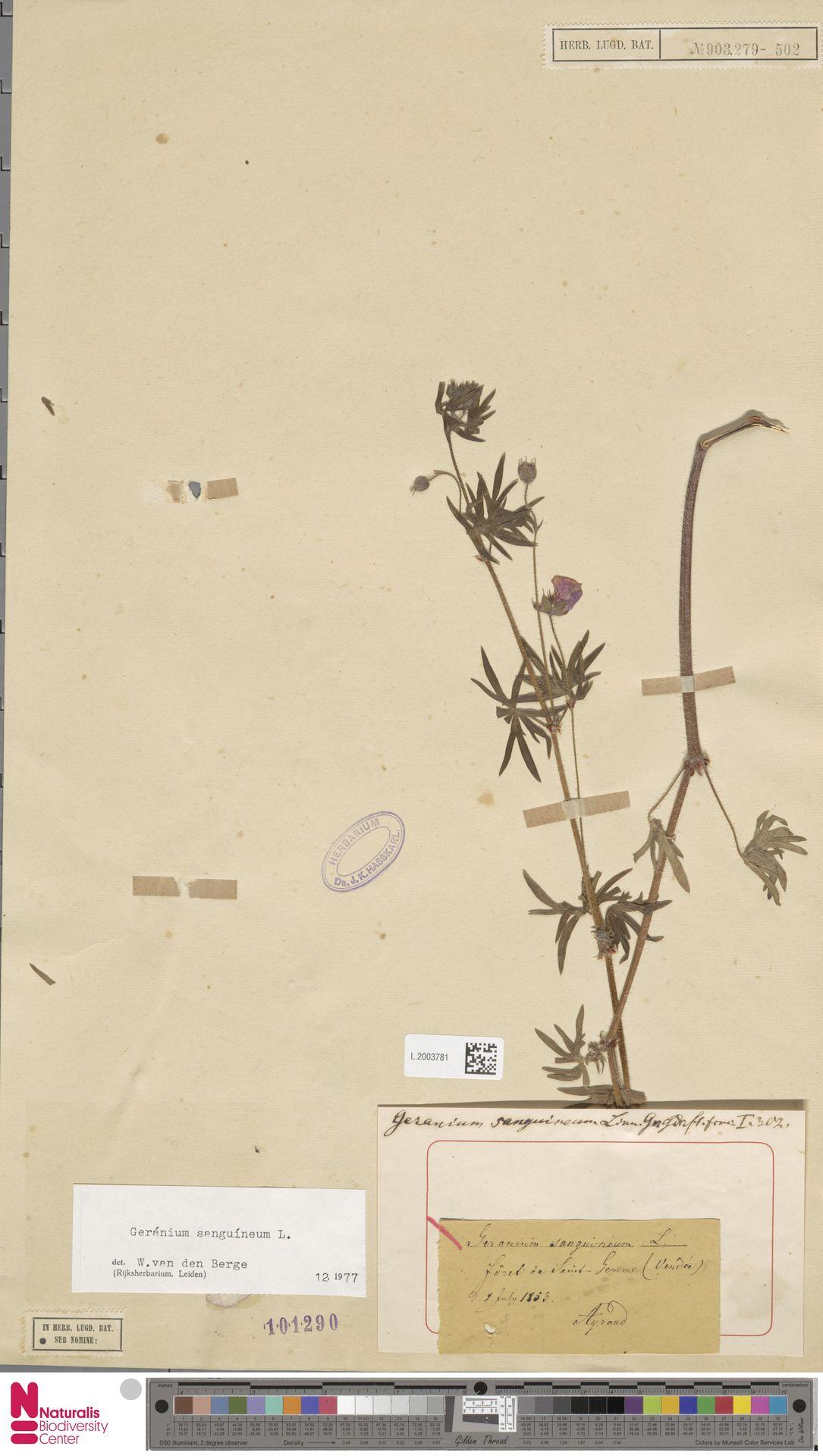 L.2003781 | Geranium sanguineum L.