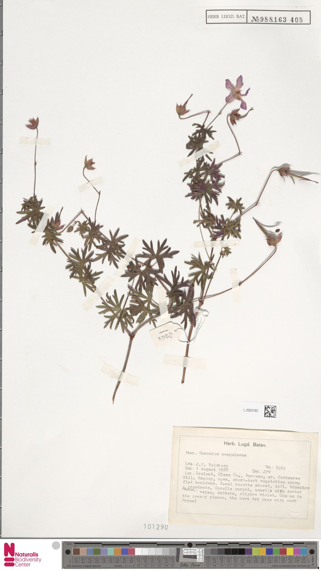 L.2003782 | Geranium sanguineum L.