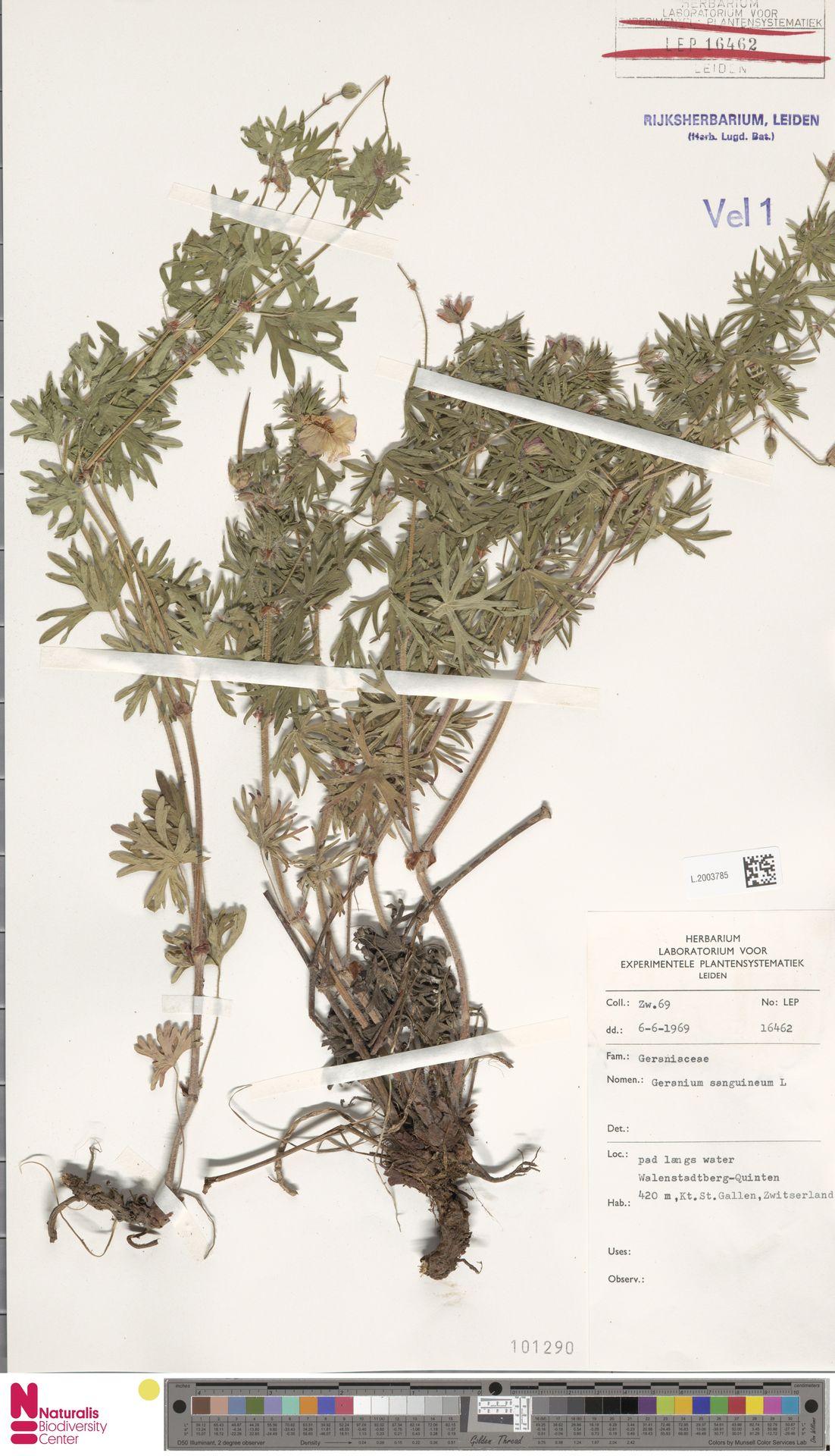 L.2003785 | Geranium sanguineum L.