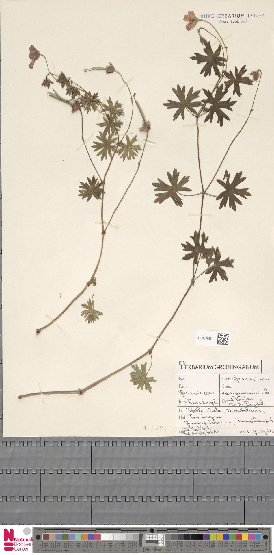 L.2003788 | Geranium sanguineum L.