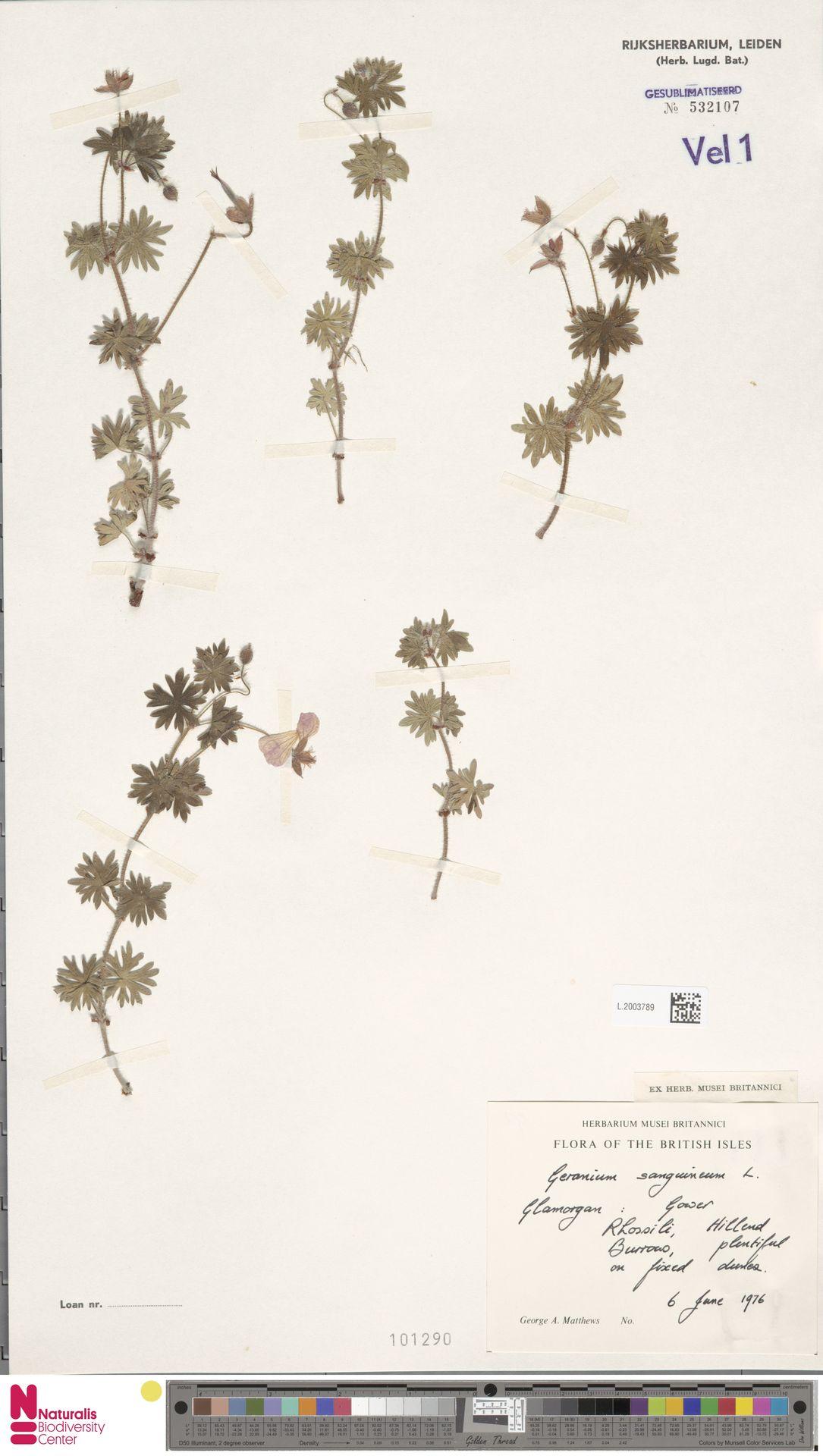 L.2003789   Geranium sanguineum L.