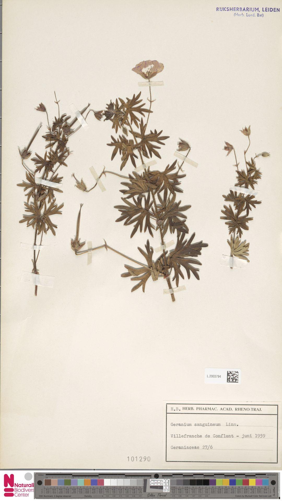 L.2003794 | Geranium sanguineum L.