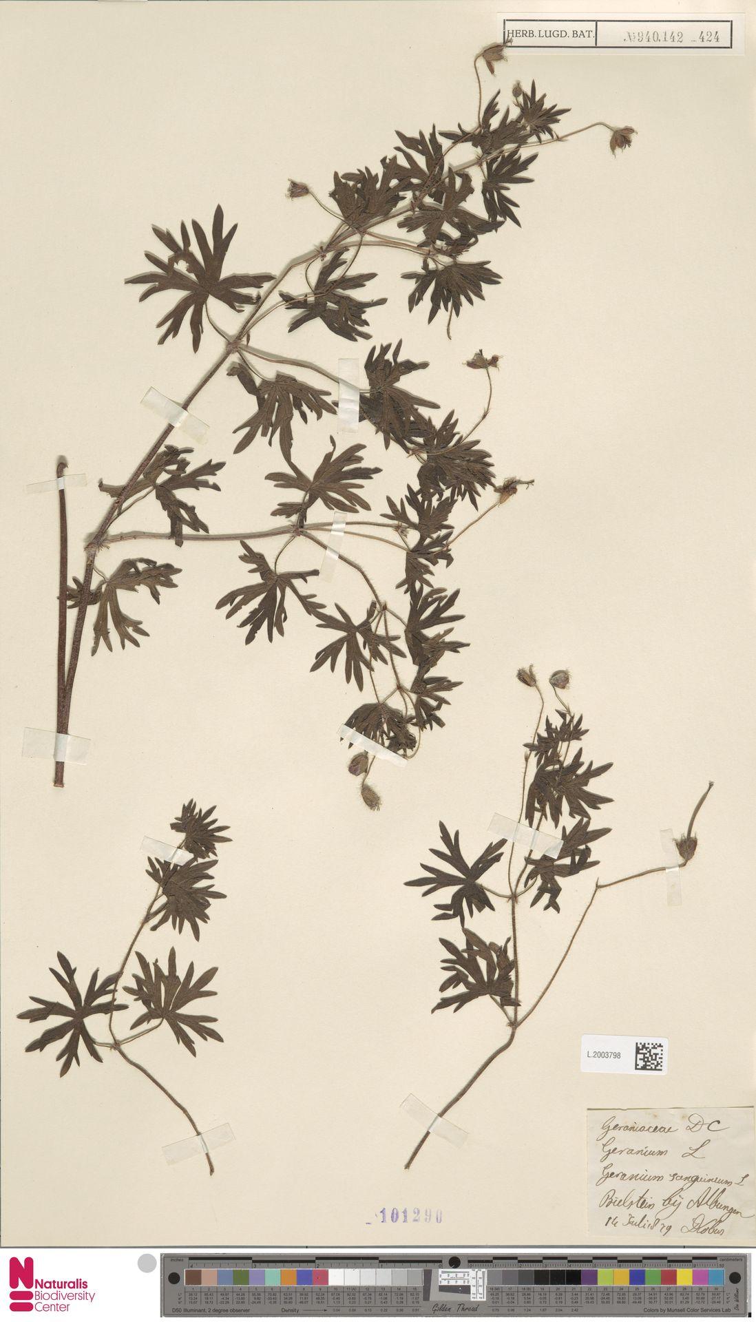 L.2003798 | Geranium sanguineum L.