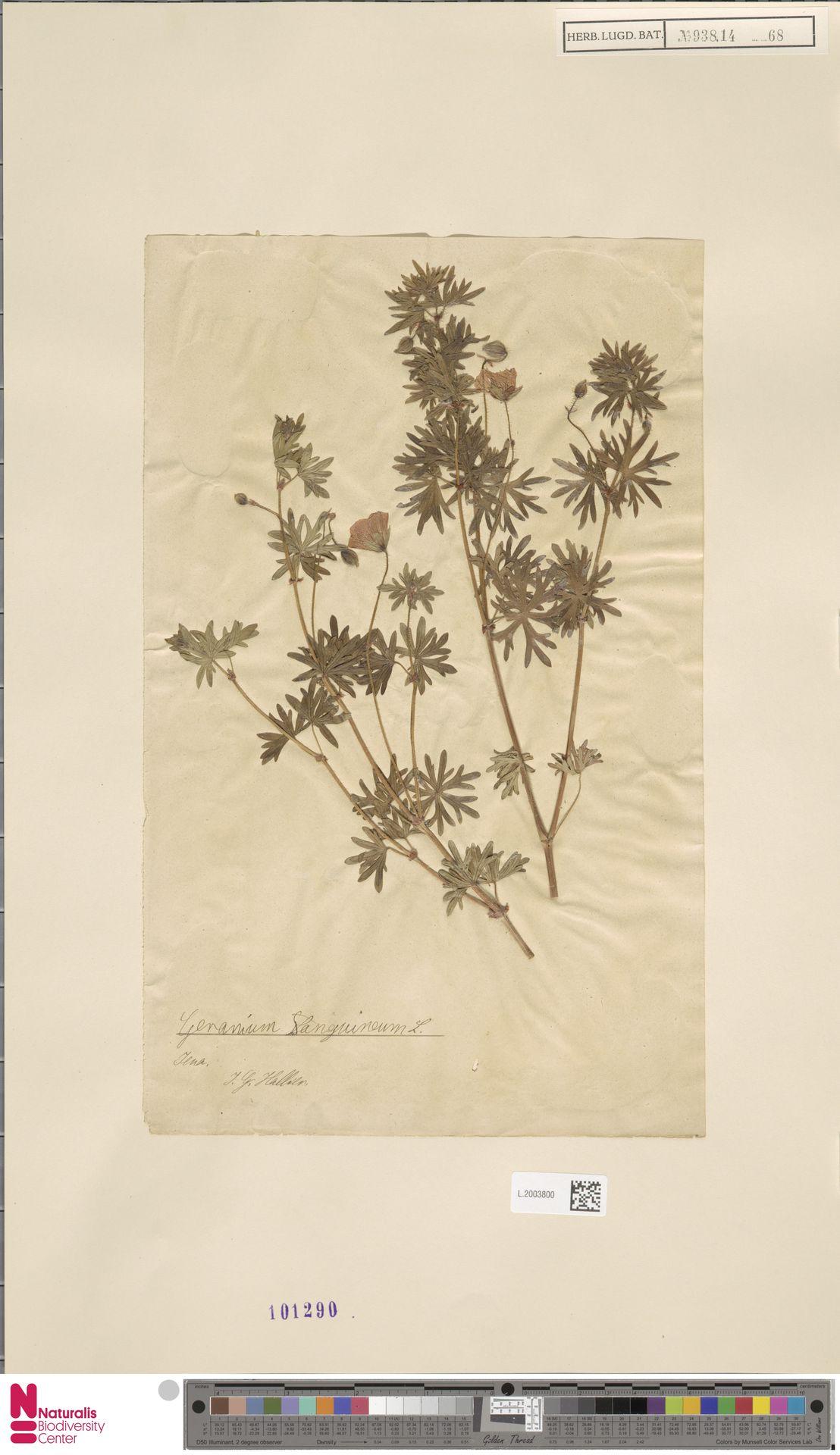 L.2003800   Geranium sanguineum L.