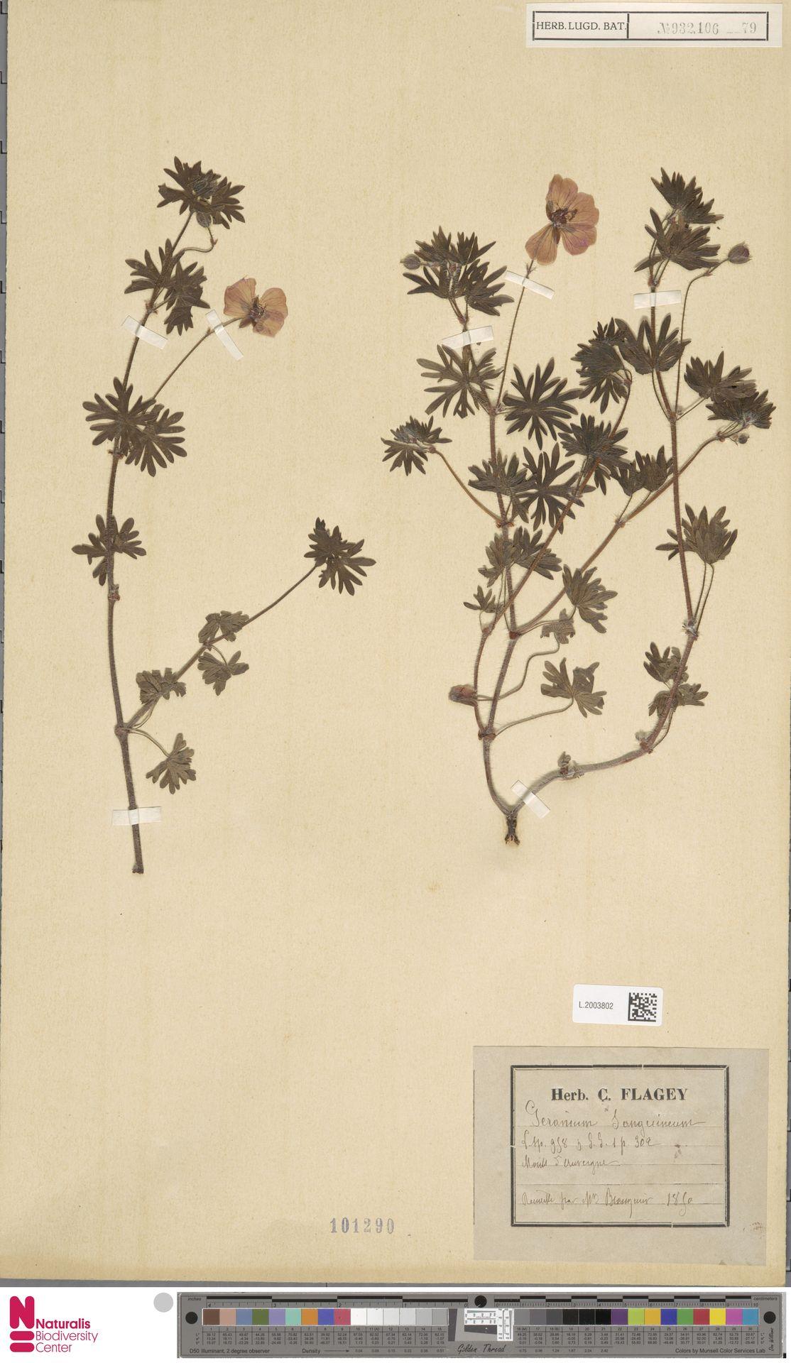 L.2003802   Geranium sanguineum L.