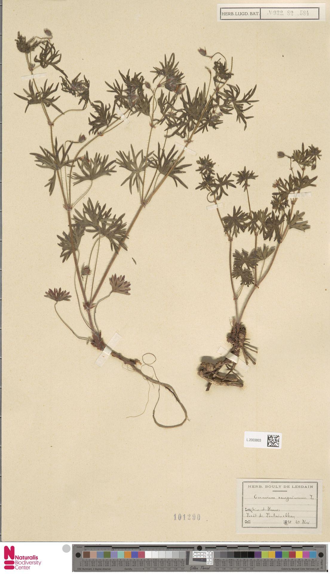 L.2003803 | Geranium sanguineum L.