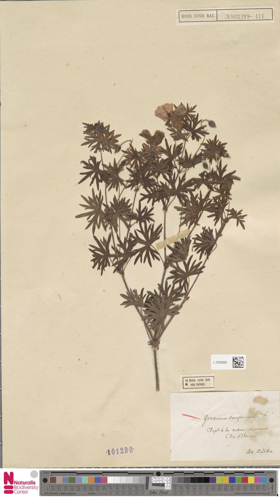 L.2003806 | Geranium sanguineum L.