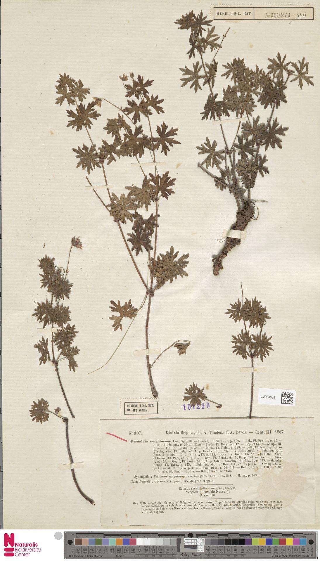L.2003808 | Geranium sanguineum L.