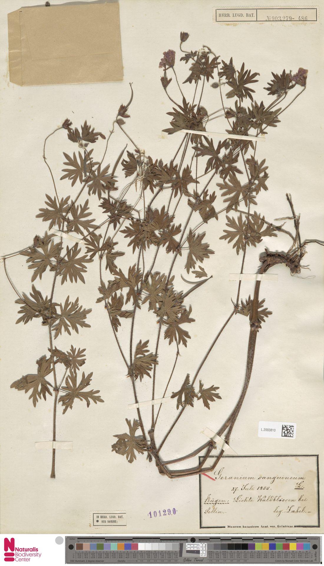 L.2003810 | Geranium sanguineum L.