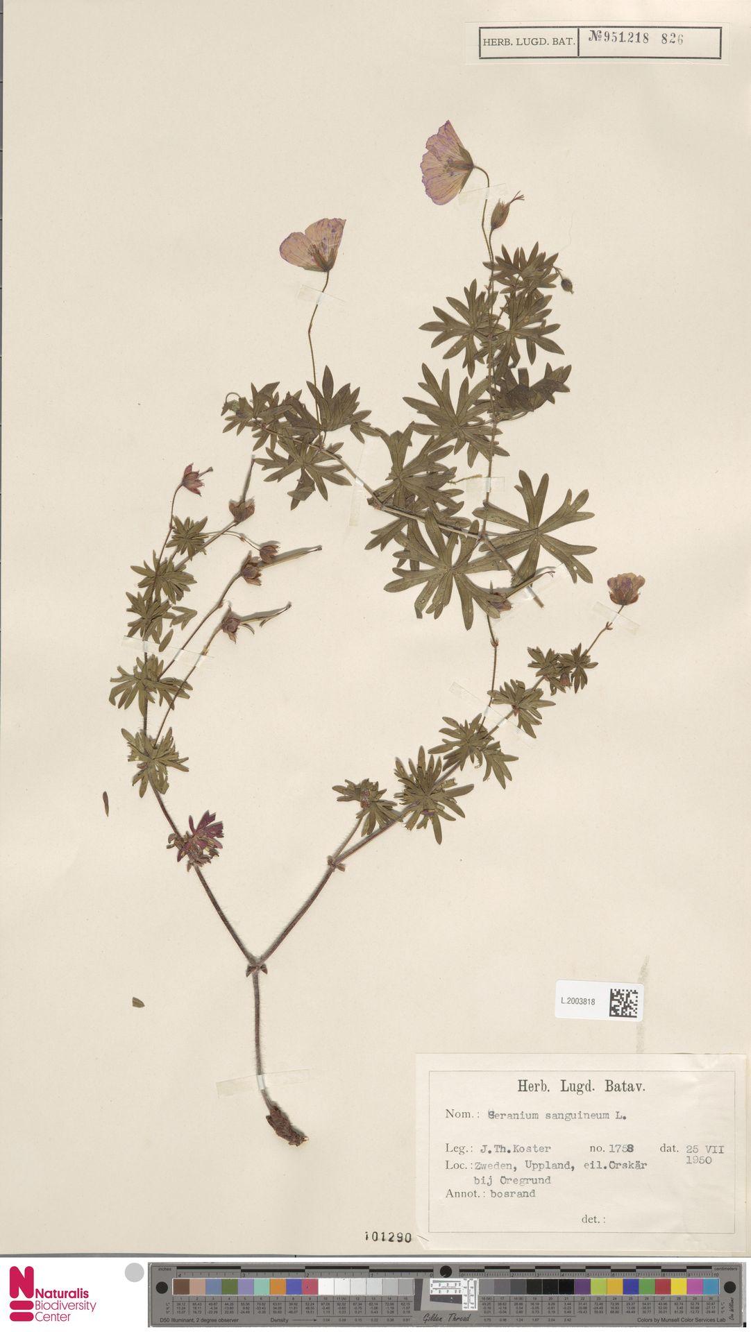 L.2003818 | Geranium sanguineum L.
