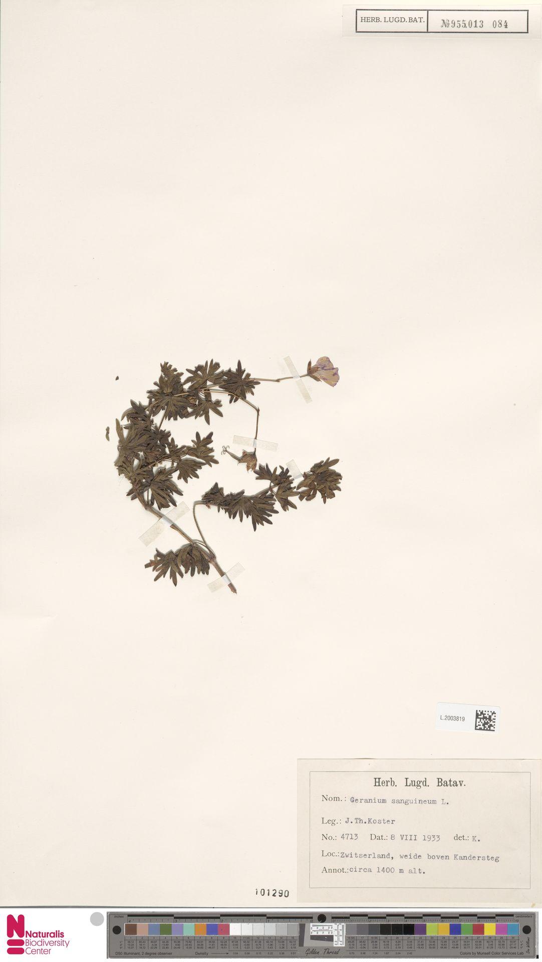 L.2003819 | Geranium sanguineum L.