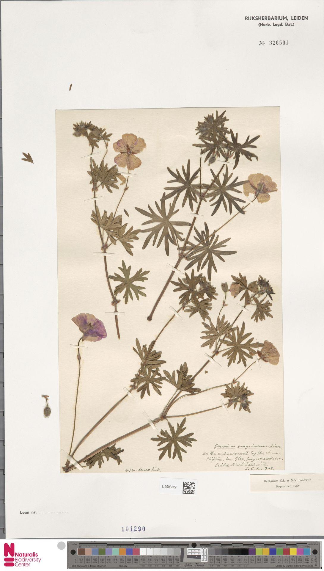 L.2003827   Geranium sanguineum L.
