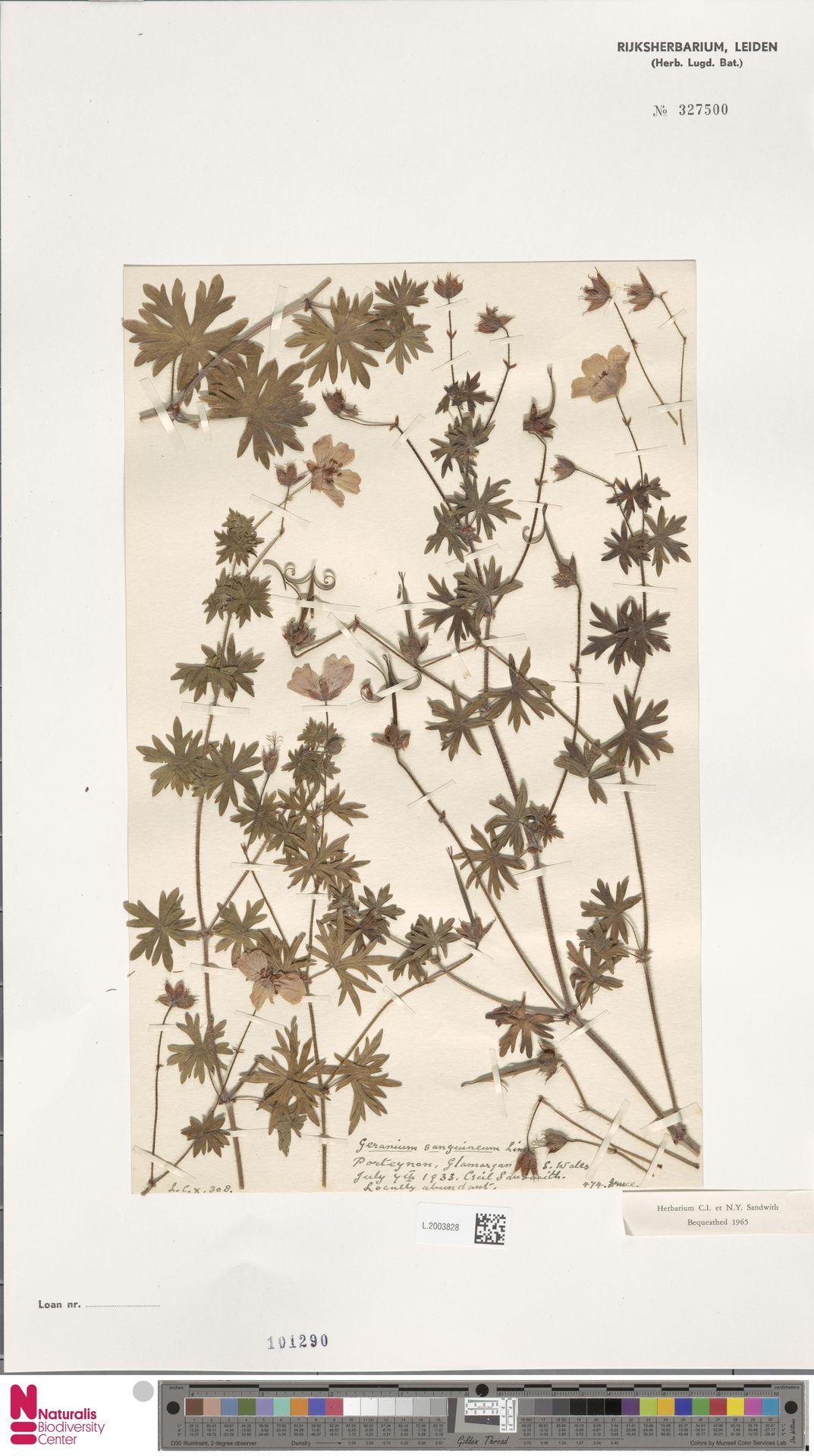 L.2003828 | Geranium sanguineum L.