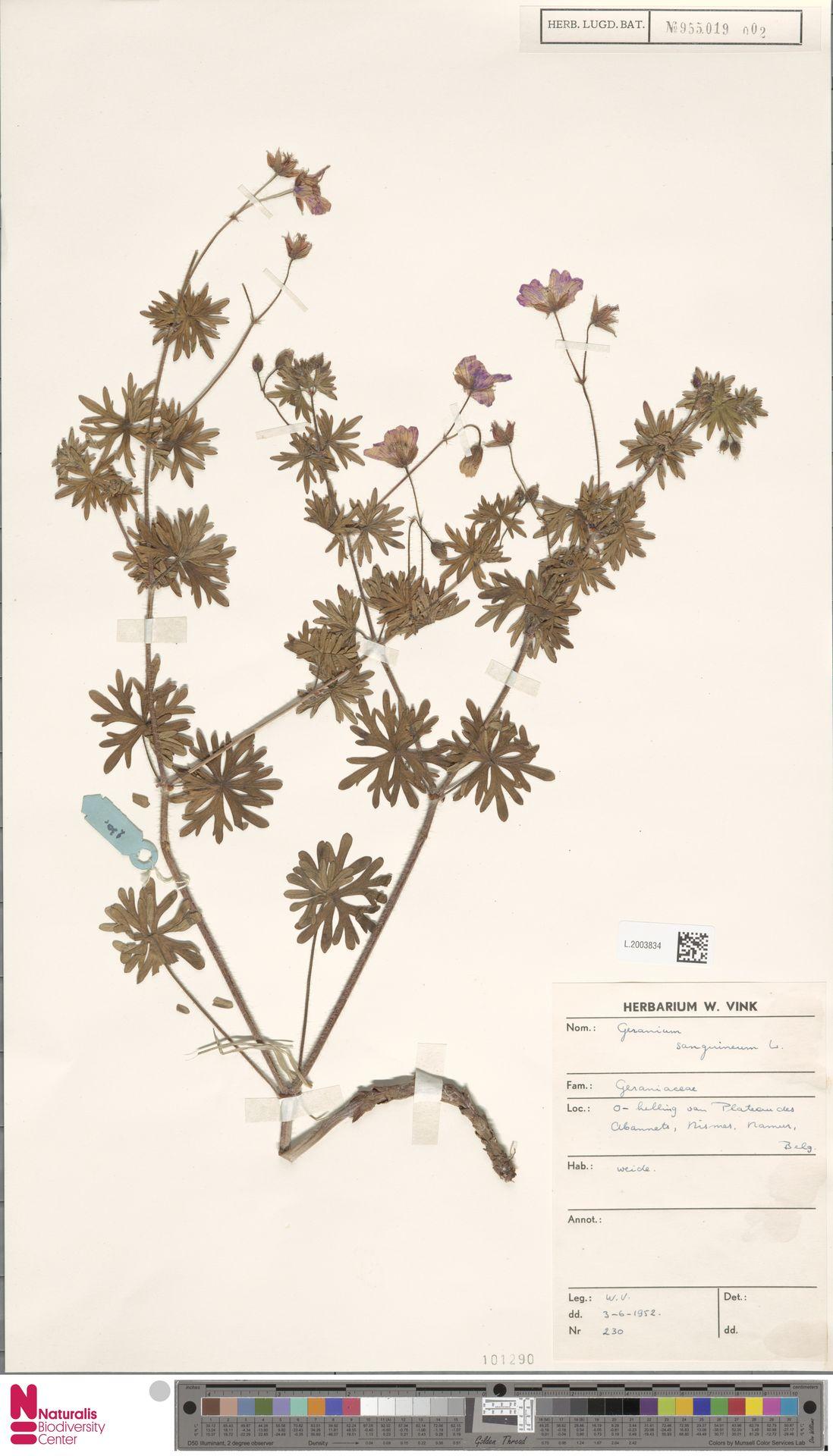 L.2003834 | Geranium sanguineum L.