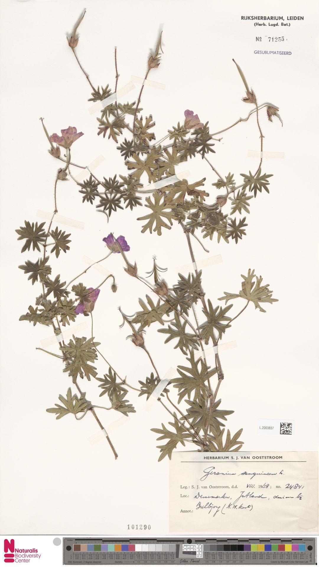 L.2003837 | Geranium sanguineum L.