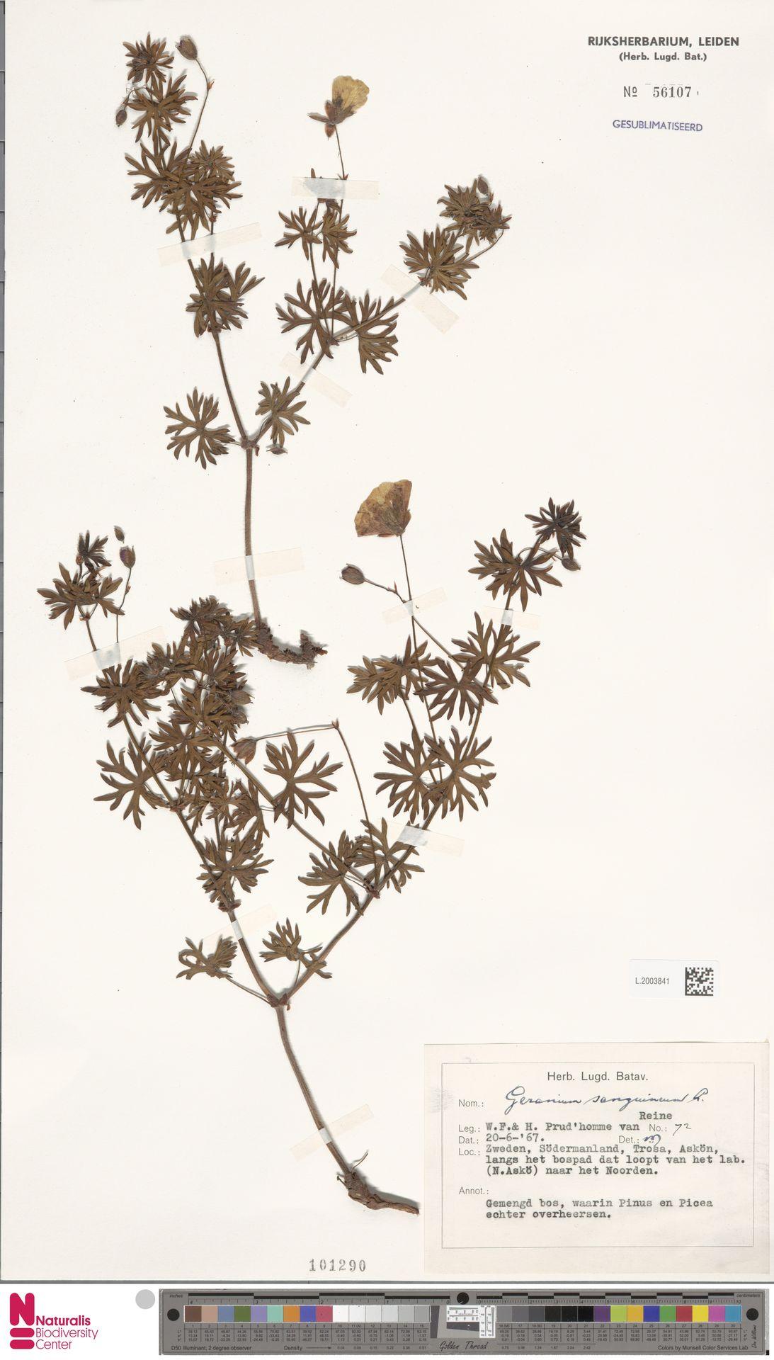 L.2003841 | Geranium sanguineum L.