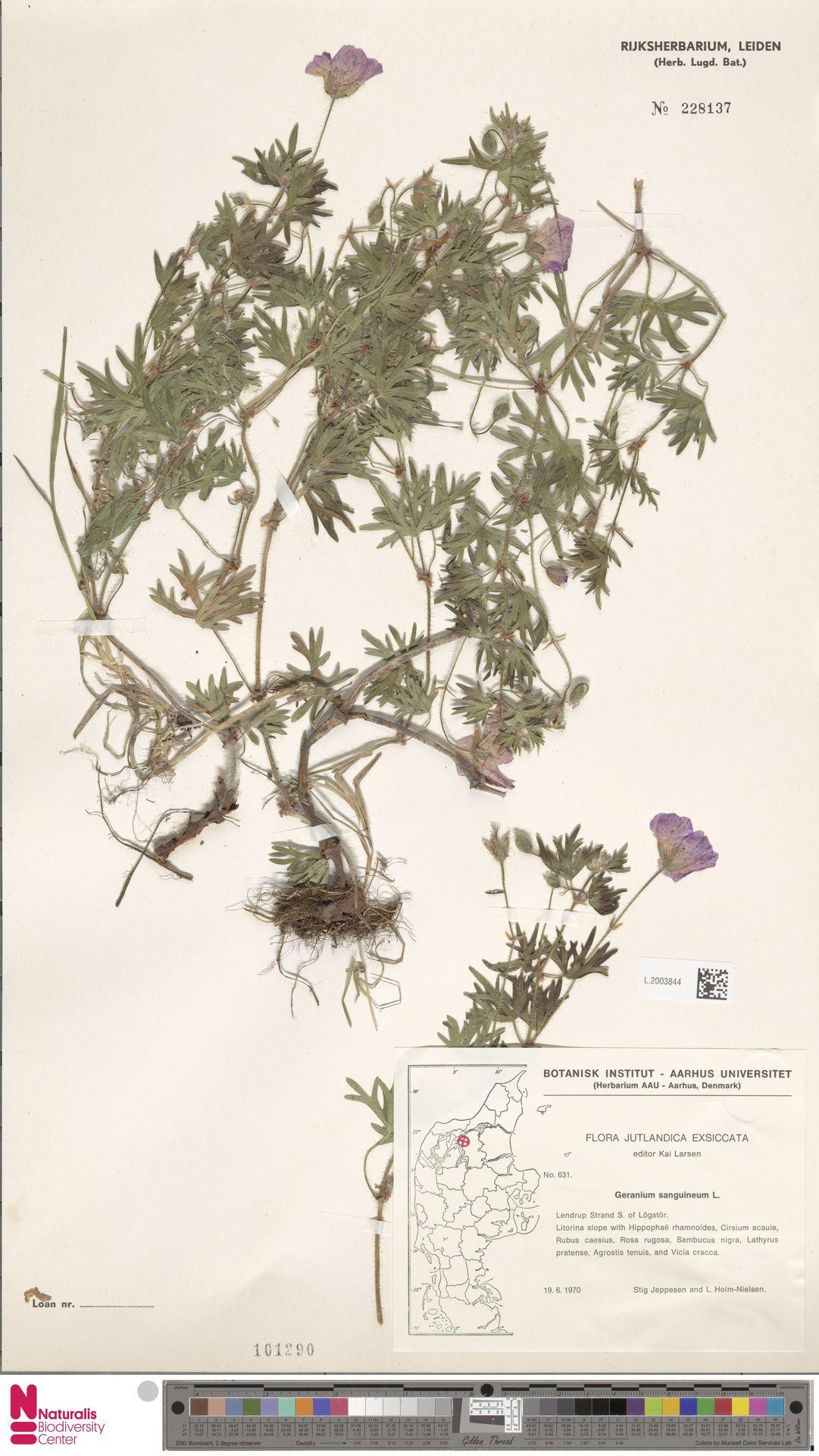 L.2003844 | Geranium sanguineum L.