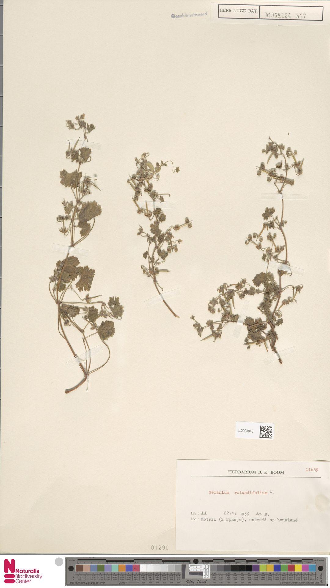 L.2003848   Geranium rotundifolium L.