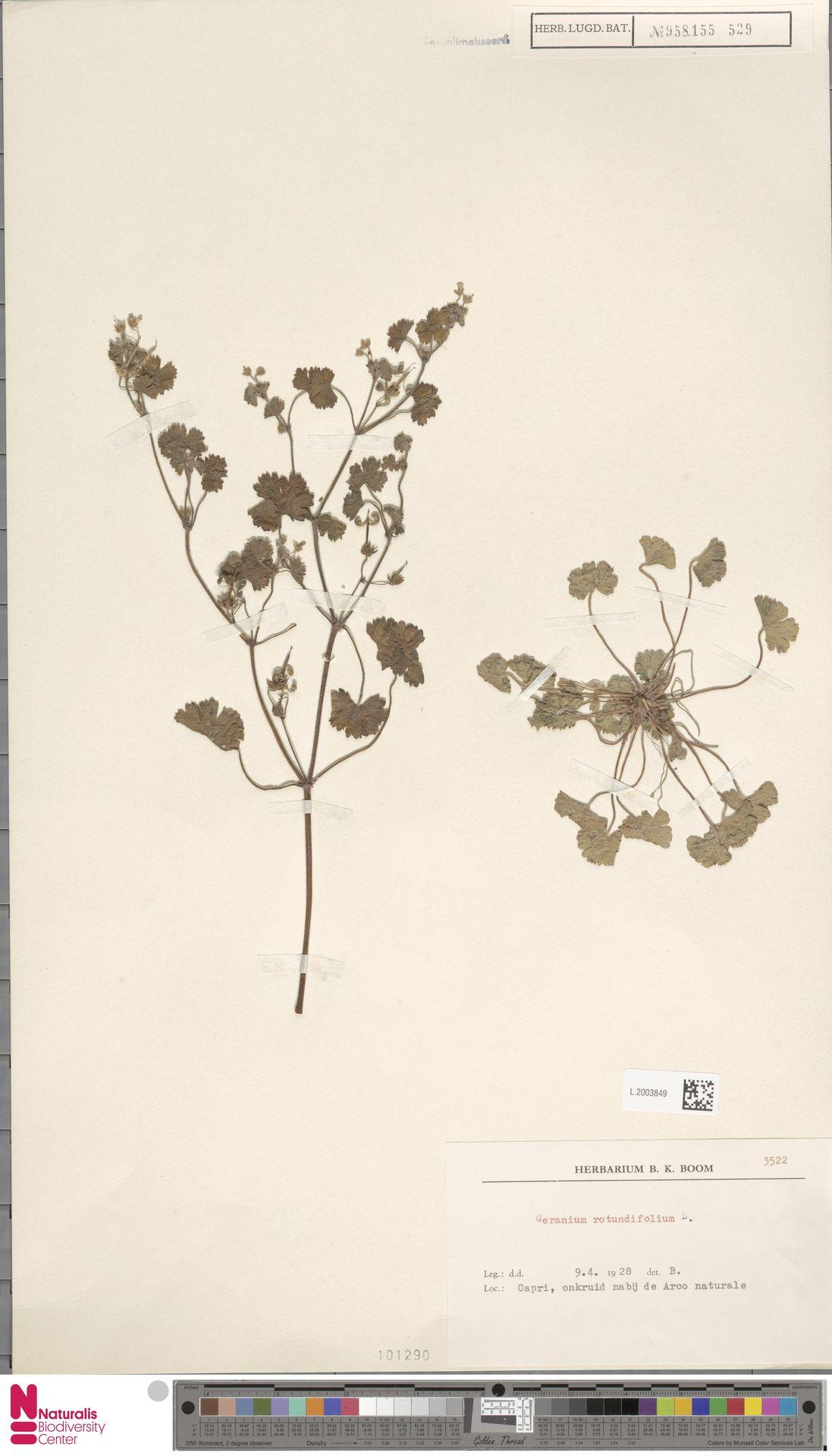 L.2003849 | Geranium rotundifolium L.