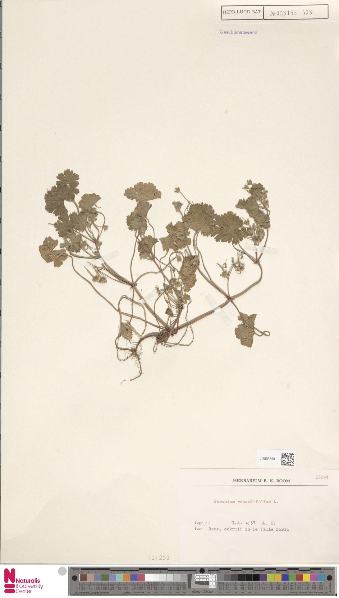 L.2003850 | Geranium rotundifolium L.