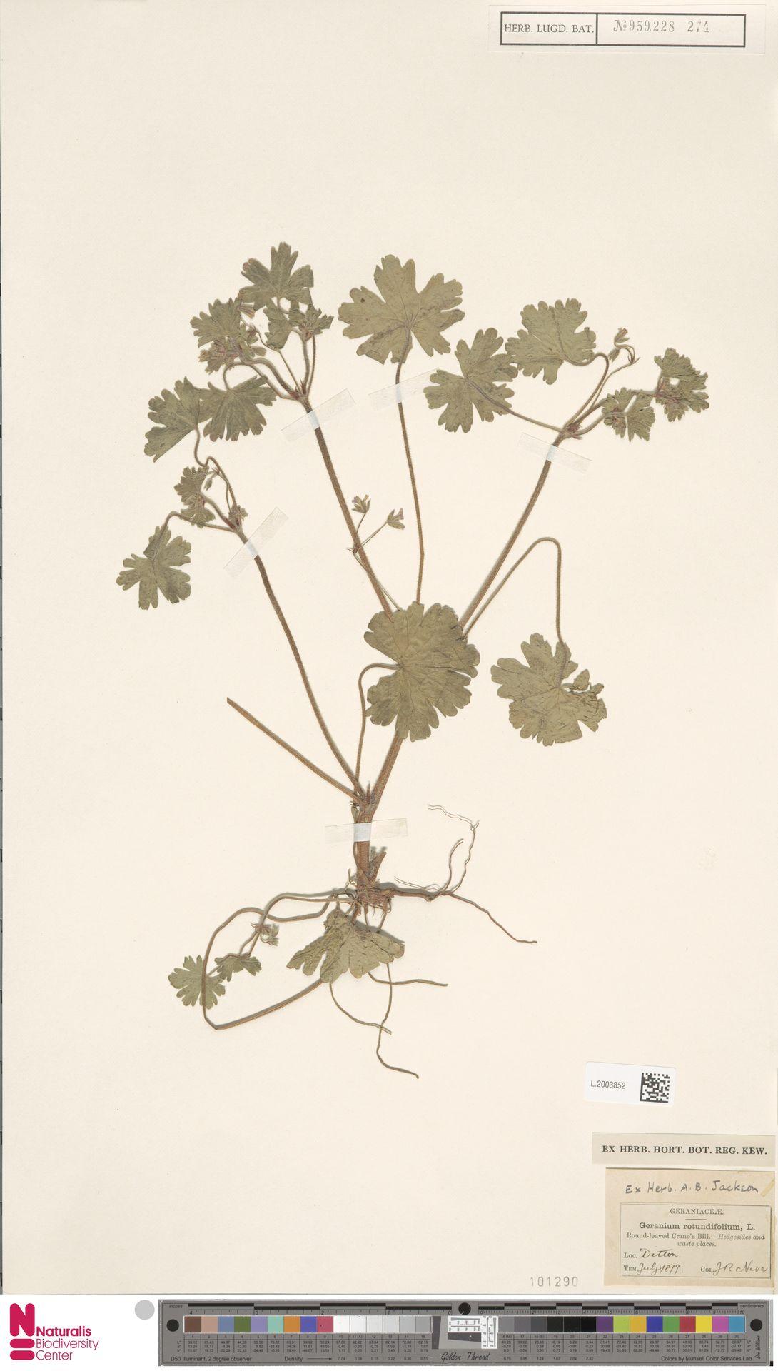 L.2003852 | Geranium rotundifolium L.