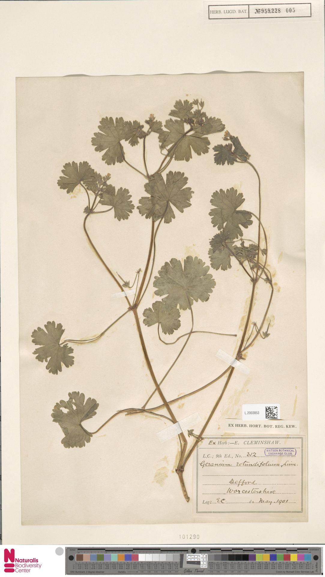 L.2003853   Geranium rotundifolium L.