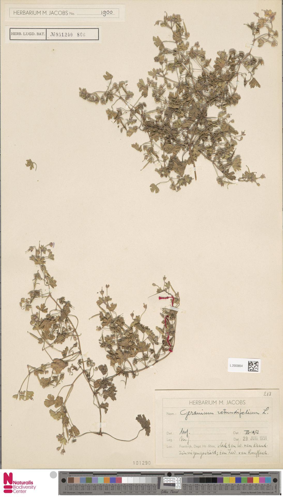 L.2003854 | Geranium rotundifolium L.