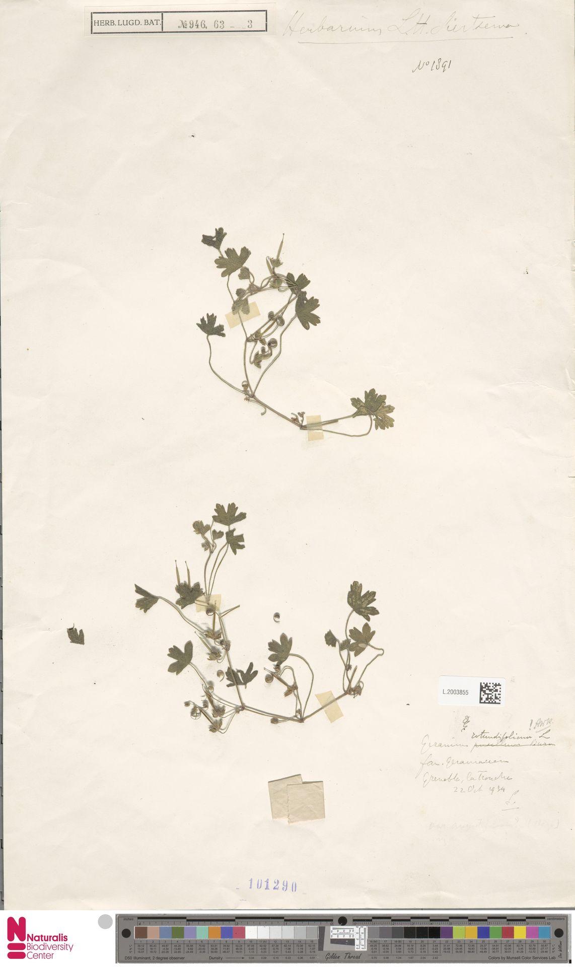 L.2003855 | Geranium rotundifolium L.