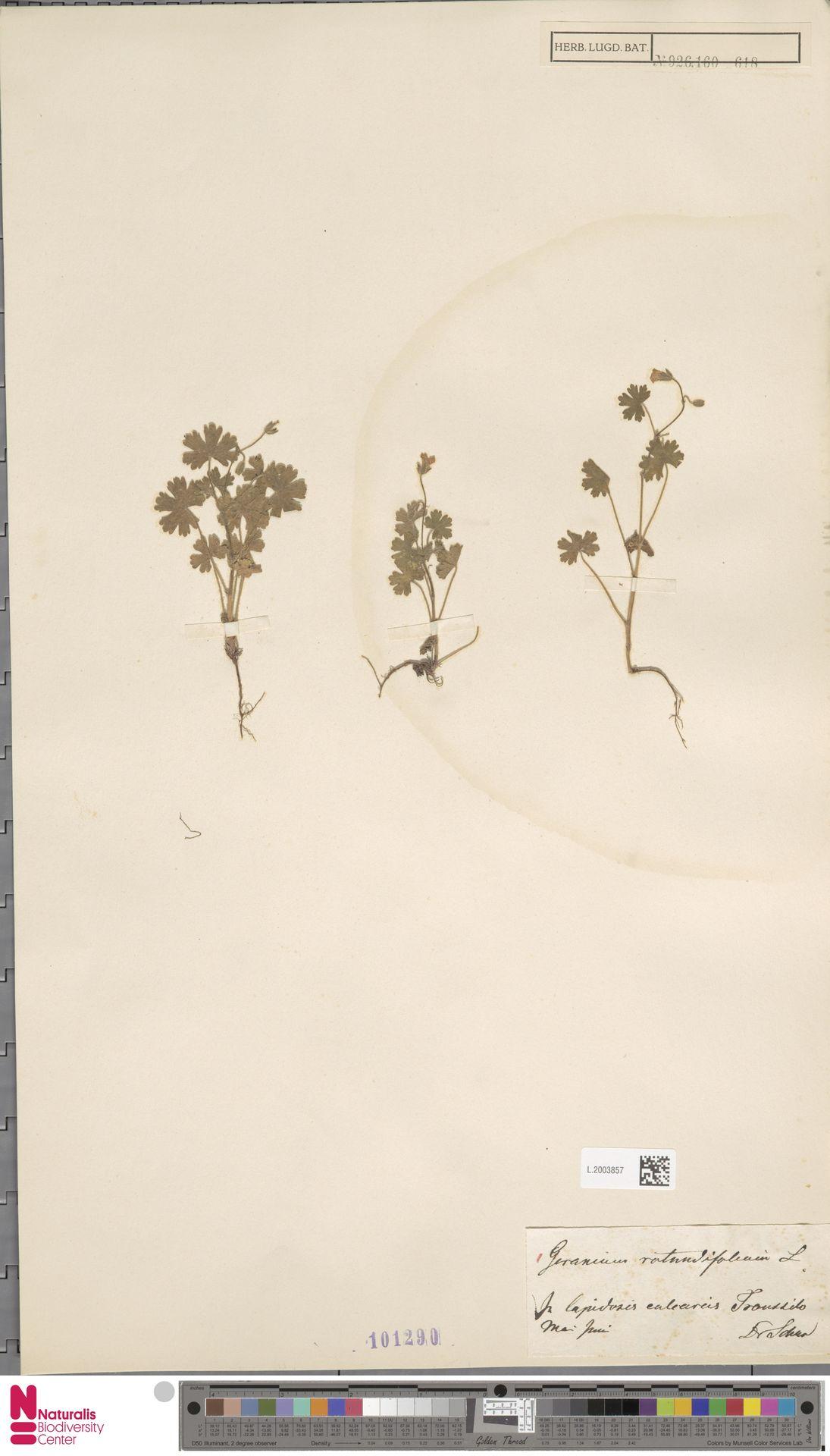 L.2003857 | Geranium rotundifolium L.
