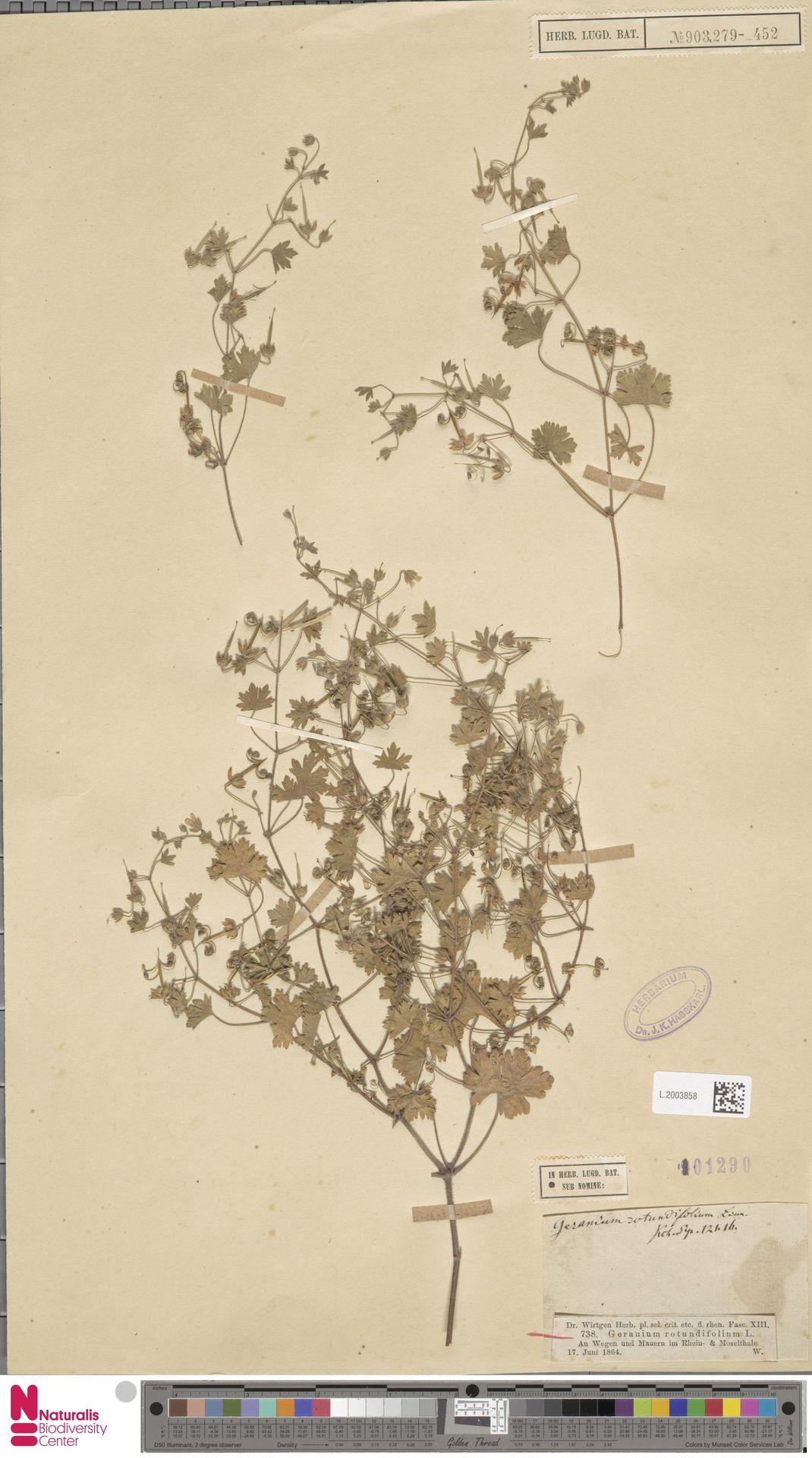 L.2003858 | Geranium rotundifolium L.