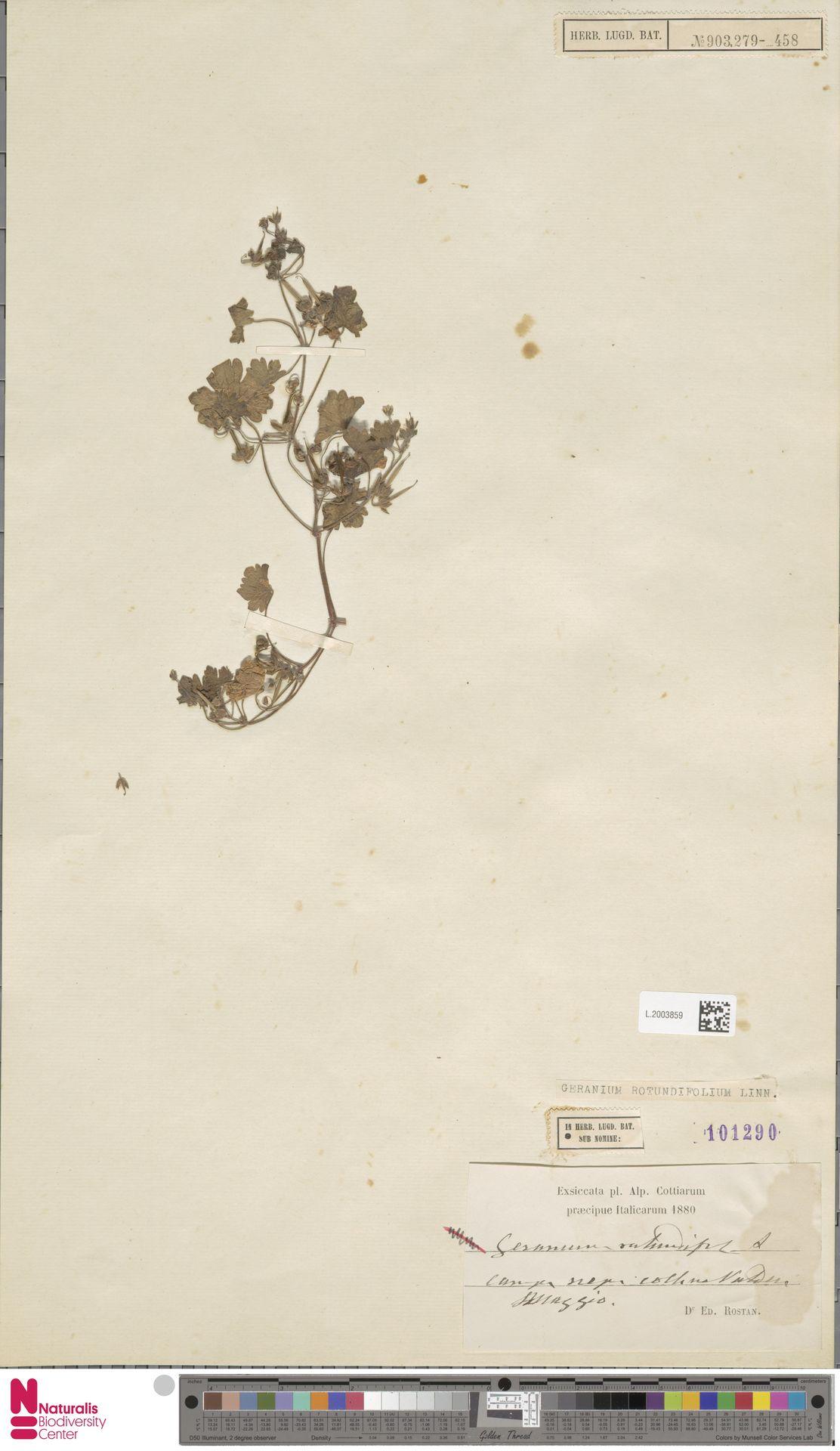 L.2003859 | Geranium rotundifolium L.