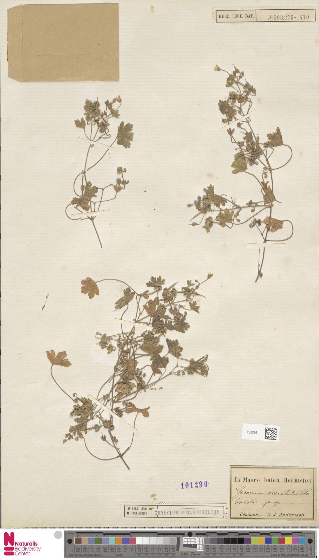 L.2003861 | Geranium rotundifolium L.