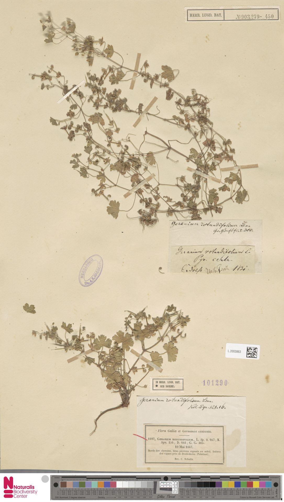 L.2003863   Geranium rotundifolium L.