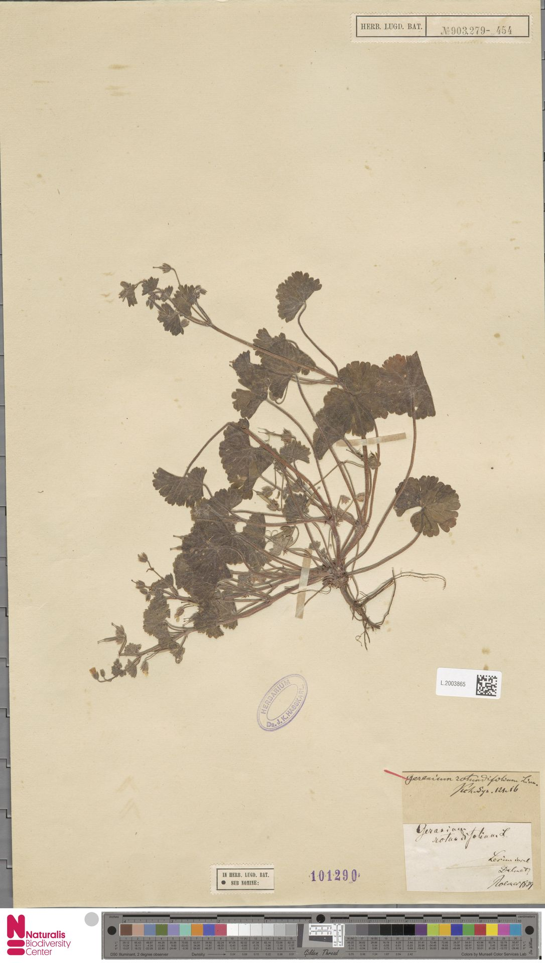 L.2003865 | Geranium rotundifolium L.
