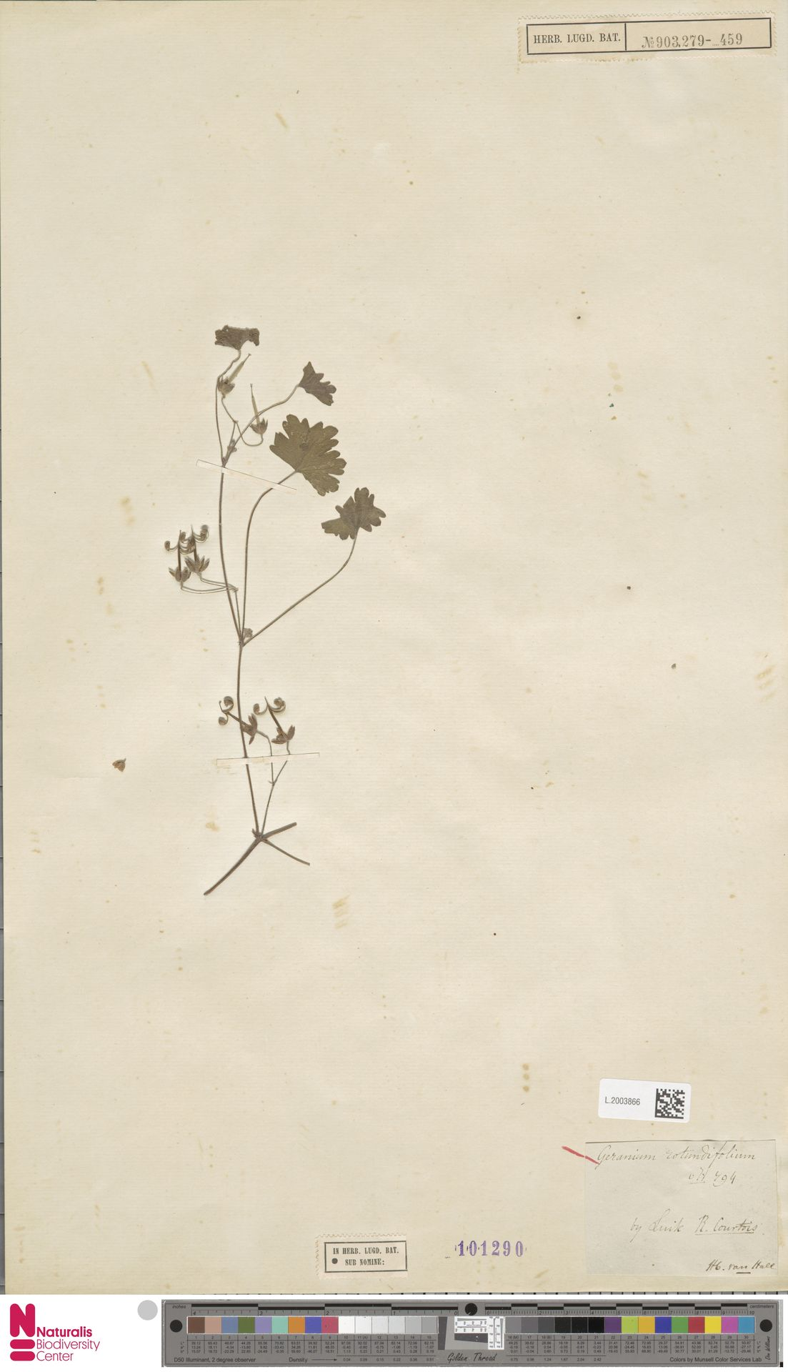 L.2003866   Geranium rotundifolium L.