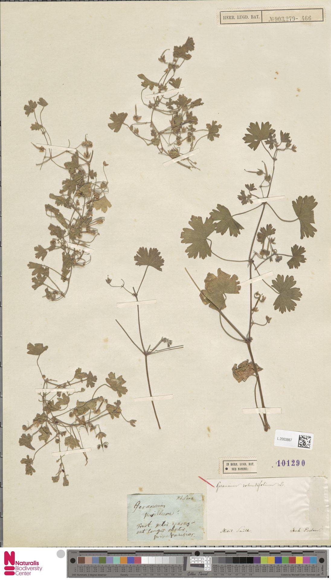 L.2003867 | Geranium rotundifolium L.