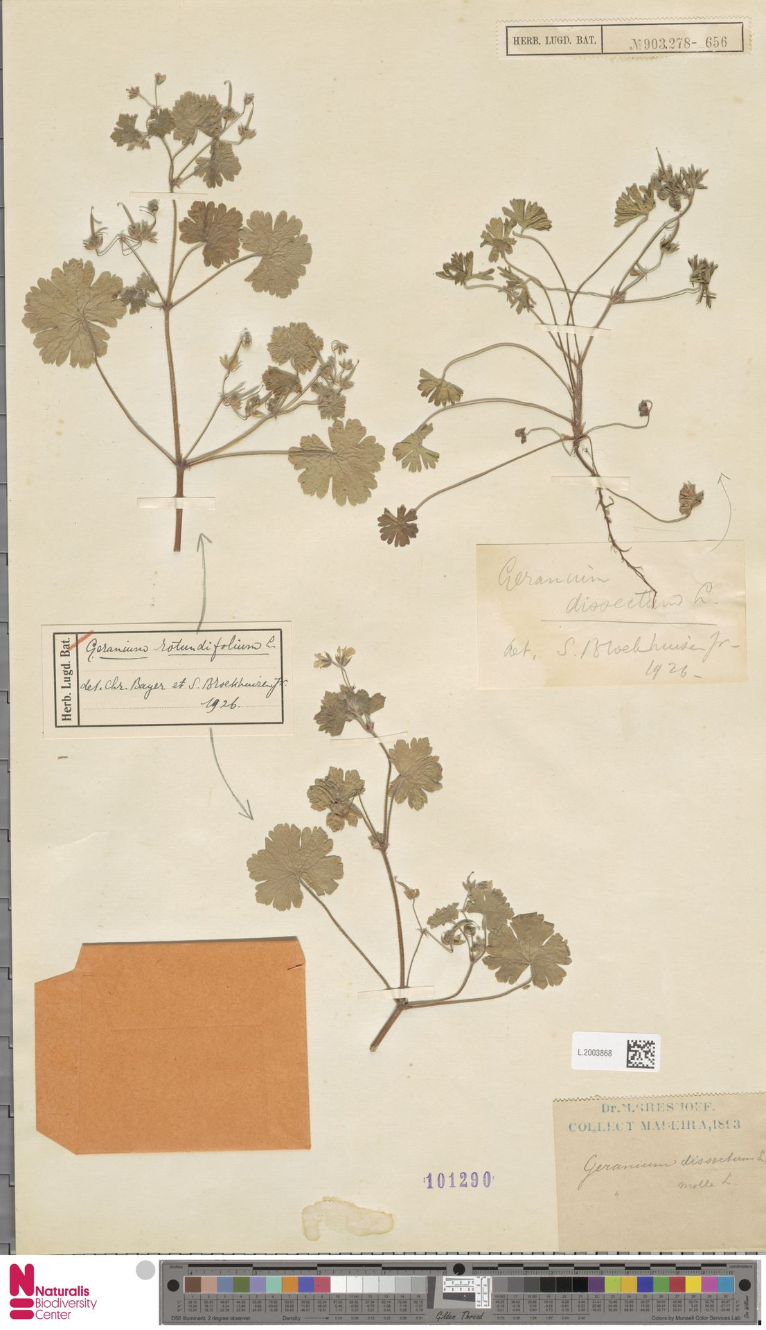 L.2003868 | Geranium rotundifolium L.