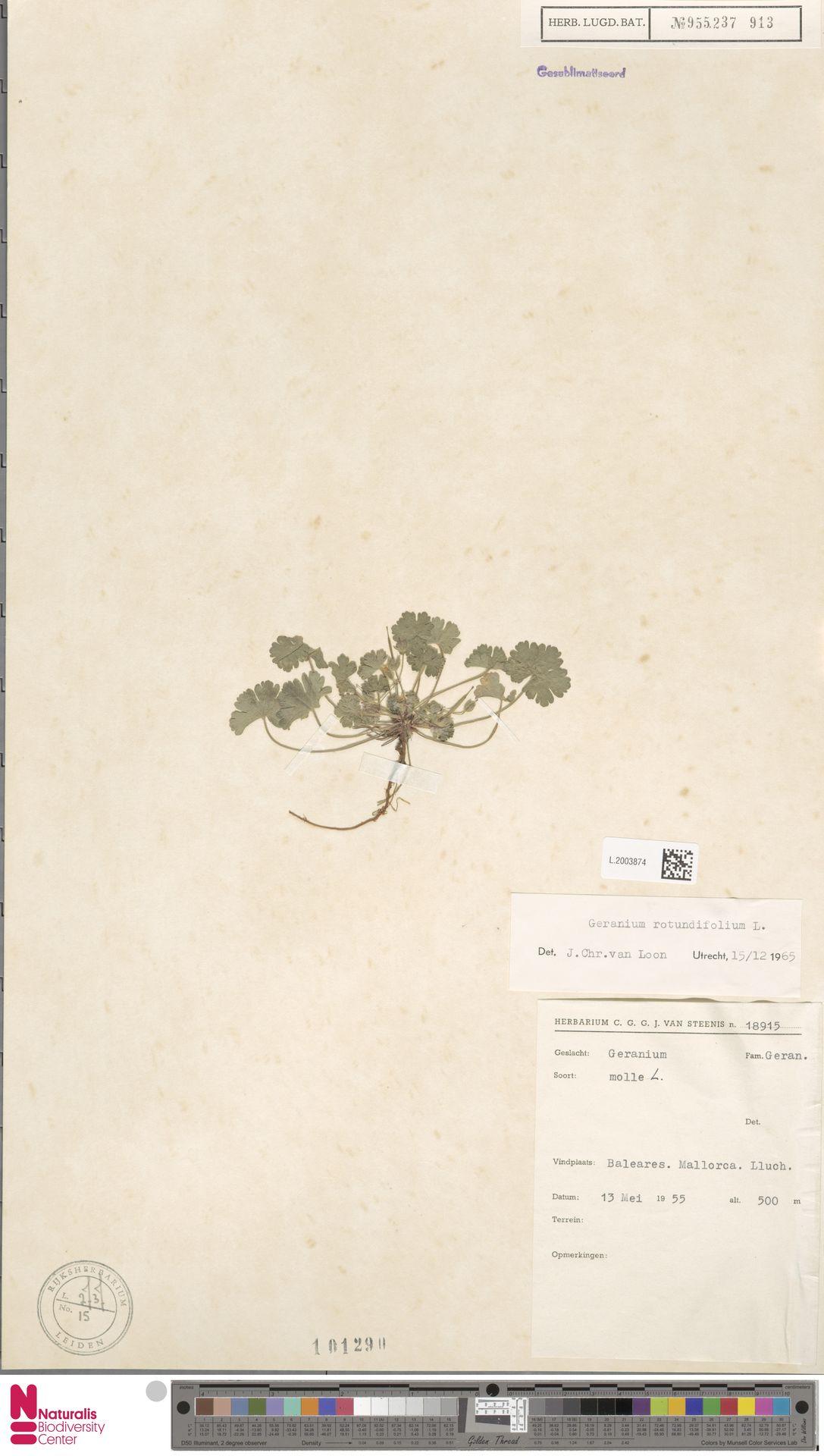 L.2003874 | Geranium rotundifolium L.